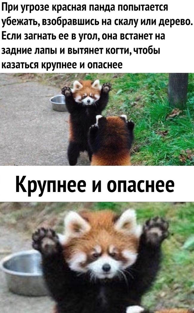 красная панда крупнее и опаснее